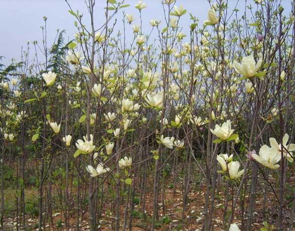 南京乾坤苗圃白玉兰种植基地